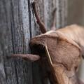 Photos: モモスズメという蛾だそうです