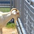 んん、もう、美味すぎるから、かぱっ@天王寺動物園の山羊2