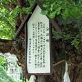Photos: 岡山県の誕生寺の境内にある珍しい公孫樹の説明文