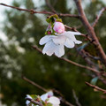 十月桜は今咲いています