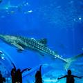 Photos: 美ら海水族館のジンベイザメ