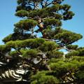 東京八王子の両輪山龍谷寺の松