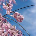 京都の植物園の中の桜