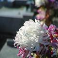 Photos: 白い仏花