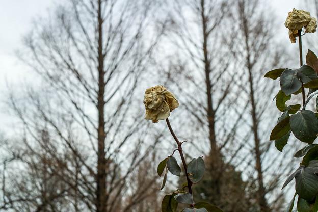 枯れたって薔薇は薔薇だ