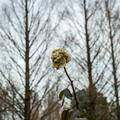 Photos: 枯れたって薔薇は薔薇だ