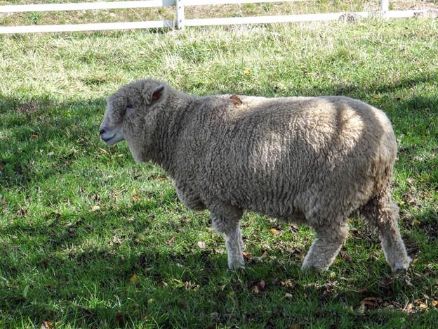 こっちの羊は顔中もじゃもじゃだ