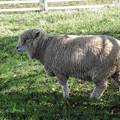 Photos: こっちの羊は顔中もじゃもじゃだ