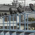 海鵜の行列