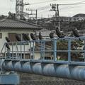 Photos: 海鵜の行列2