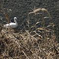 茂みに潜む白鷺