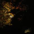 大磯紅葉ライトアップ2012@SIGMA-DP2Merrill-1