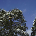写真: 雪を戴いた松が青空に映える