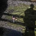 Photos: 鴨の逆立ち(爆)
