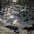 Photos: 光る白鳥