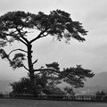宮崎高千穂国見ヶ丘の松