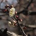 白梅の季節が来ると春が近づいてくることを実感する。