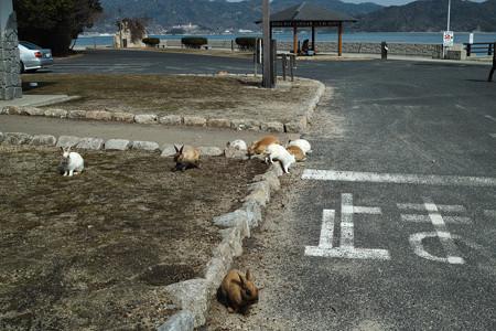 こんな感じで島のあちこちにウサギがいました@広島県の大久野島の兎たち