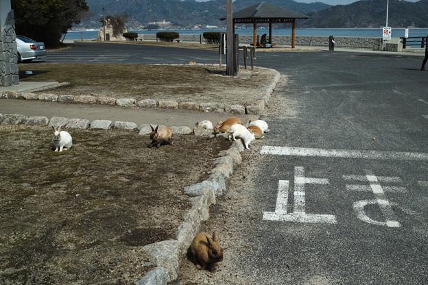 写真: こんな感じで島のあちこちにウサギがいました@広島県の大久野島の兎たち