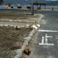 Photos: こんな感じで島のあちこちにウサギがいました@広島県の大久野島の兎たち