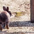 Photos: ぴょーんとく~りゃ~、ごろにゃんと鳴かない@広島県大久野島の兎たち