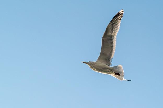 羽を伸ばすと胴体より長いからこそ飛べるんだろうなあ