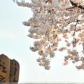 Photos: 櫻の樹の下には、、