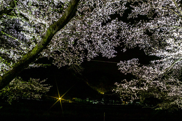 Photos: 夜桜撮ってみた