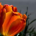 オレンジの透過光