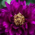 Photos: 紫の牡丹-2@両輪山龍谷寺