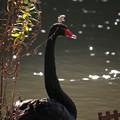 Photos: 黒鳥