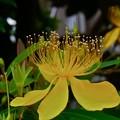 花びらより派手な蕊