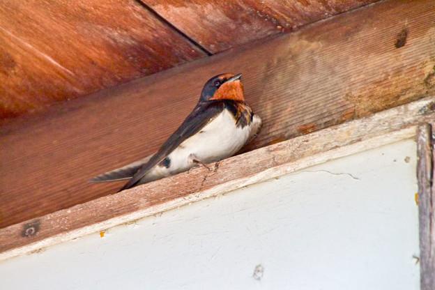 春の鳥といえば