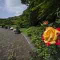 Photos: 薔薇の案内人