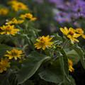 薄紫と黄色2