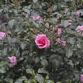 薔薇の王女