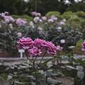 Photos: 花の命は短くて、、