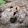 Photos: 歌う樹