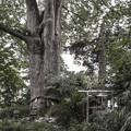 巨大な御神木