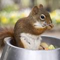 赤リス君食べる食べる