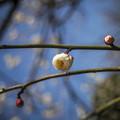 白い「水玉」背景で開花する