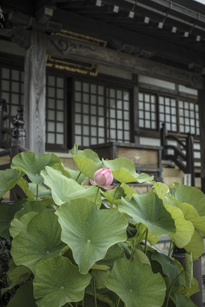 Photos: お寺には蓮が似合う
