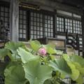 お寺には蓮が似合う