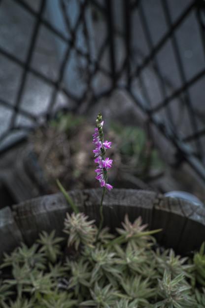 Photos: 螺旋の花