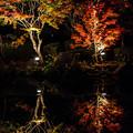 大磯紅葉ライトアップ2012@二本の樹木と反映