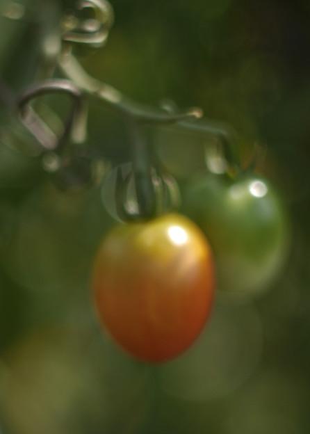 玉暈けに溶けるミニトマト(爆)