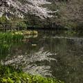 Photos: 桜の反映