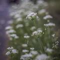 ニラの花(ですか?)