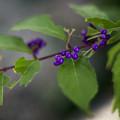 Photos: f1.4で撮ったムラサキシキブ