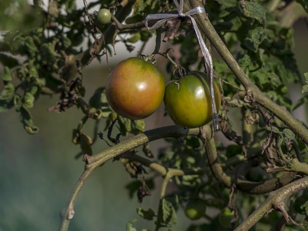 Photos: てらてらミニトマト